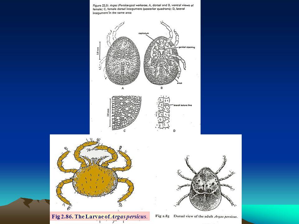 Fig 2.86. The Larvae of Argas persicus.