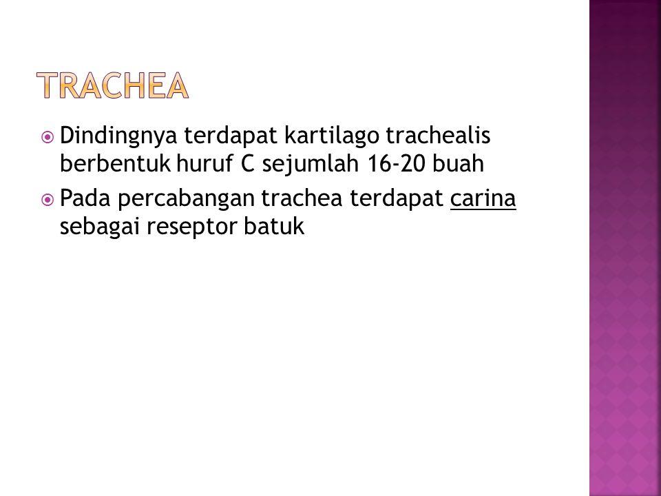  Dindingnya terdapat kartilago trachealis berbentuk huruf C sejumlah 16-20 buah  Pada percabangan trachea terdapat carina sebagai reseptor batuk
