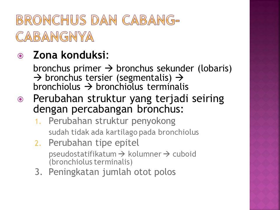  Zona konduksi: bronchus primer  bronchus sekunder (lobaris)  bronchus tersier (segmentalis)  bronchiolus  bronchiolus terminalis  Perubahan str