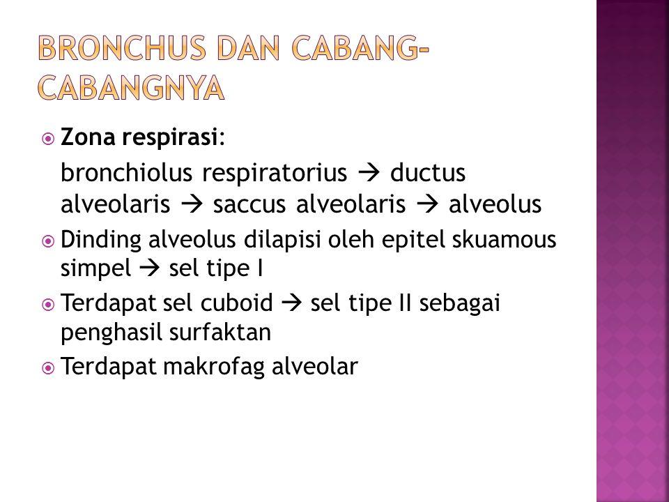  Zona respirasi: bronchiolus respiratorius  ductus alveolaris  saccus alveolaris  alveolus  Dinding alveolus dilapisi oleh epitel skuamous simpel