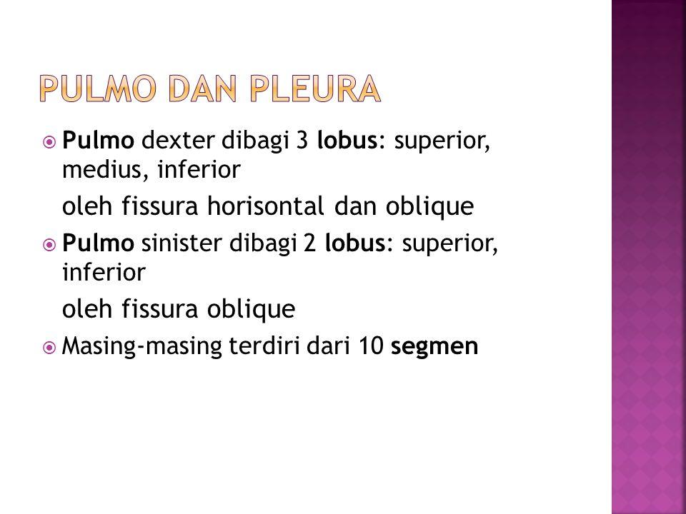  Pulmo dexter dibagi 3 lobus: superior, medius, inferior oleh fissura horisontal dan oblique  Pulmo sinister dibagi 2 lobus: superior, inferior oleh