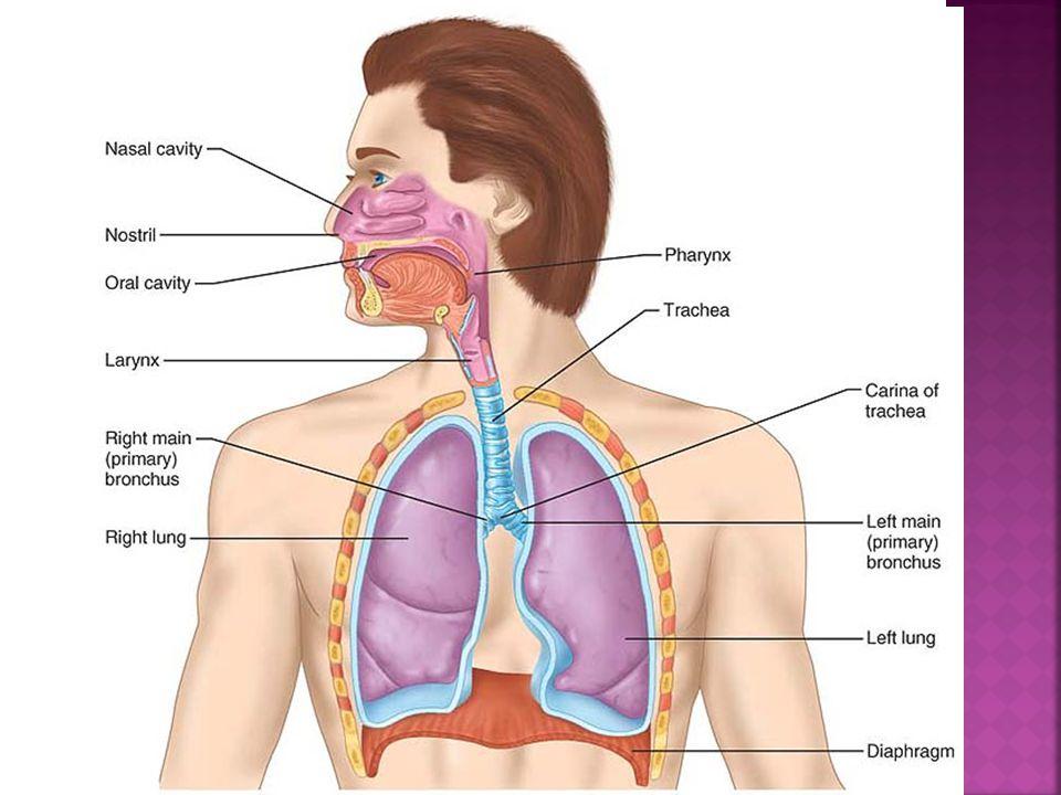  Zona respirasi: bronchiolus respiratorius  ductus alveolaris  saccus alveolaris  alveolus  Dinding alveolus dilapisi oleh epitel skuamous simpel  sel tipe I  Terdapat sel cuboid  sel tipe II sebagai penghasil surfaktan  Terdapat makrofag alveolar
