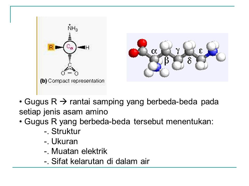 Gugus R  rantai samping yang berbeda-beda pada setiap jenis asam amino Gugus R yang berbeda-beda tersebut menentukan: -. Struktur -. Ukuran -. Muatan