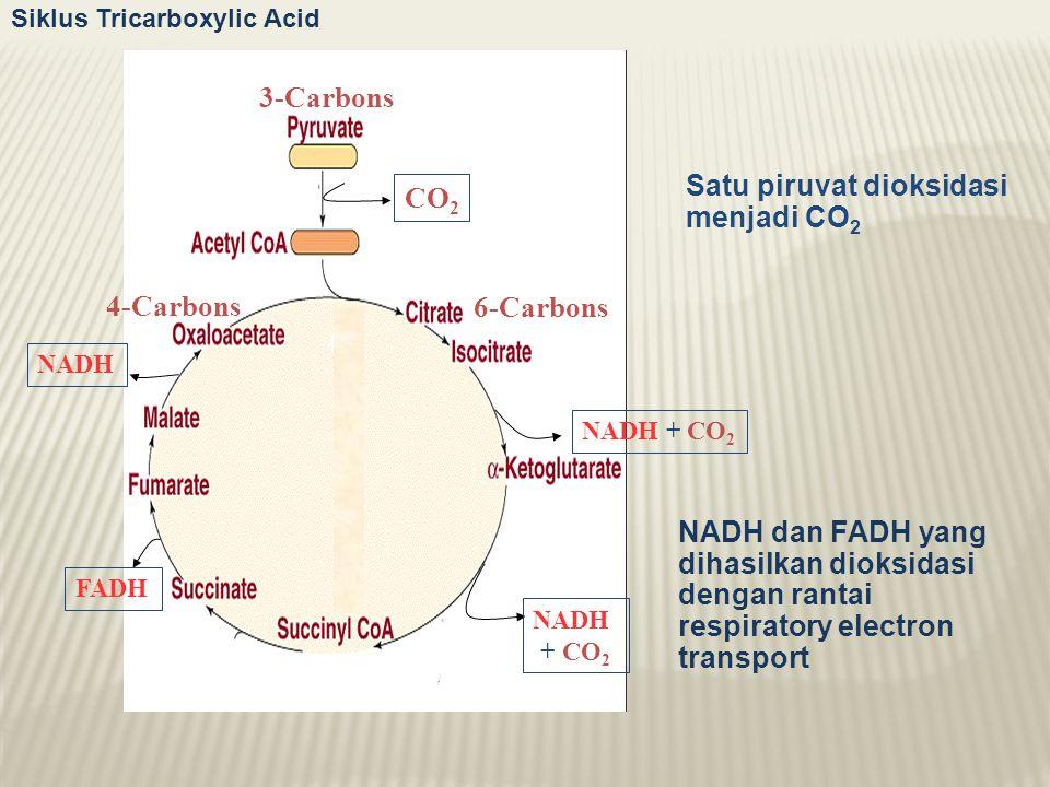 NADH + CO 2 Satu piruvat dioksidasi menjadi CO 2 4-Carbons 3-Carbons CO 2 6-Carbons NADH + CO 2 NADH FADH Siklus Tricarboxylic Acid NADH dan FADH yang dihasilkan dioksidasi dengan rantai respiratory electron transport