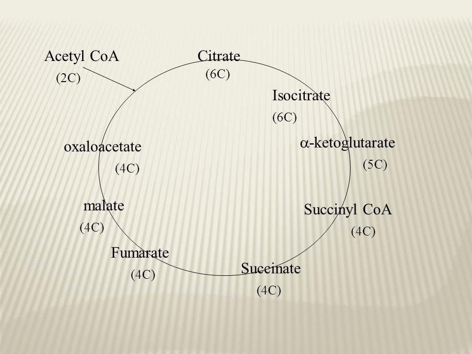 Citrate Isocitrate  -ketoglutarate Succinyl CoA Succinate Fumarate malate oxaloacetate Acetyl CoA (6C) (2C) (6C) (5C) (4C)