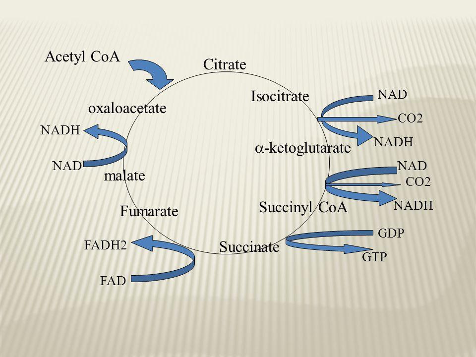 Citrate Isocitrate  -ketoglutarate Succinyl CoA Succinate Fumarate malate oxaloacetate Acetyl CoA NAD NADH CO2 NAD NADH CO2 GDP GTP FAD FADH2 NAD NADH
