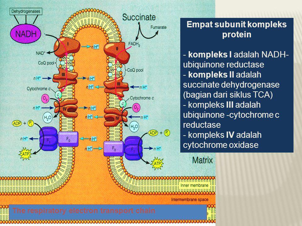 Empat subunit kompleks protein - kompleks I adalah NADH- ubiquinone reductase - kompleks II adalah succinate dehydrogenase (bagian dari siklus TCA) - kompleks III adalah ubiquinone -cytochrome c reductase - kompleks IV adalah cytochrome oxidase The respiratory electron transport chain