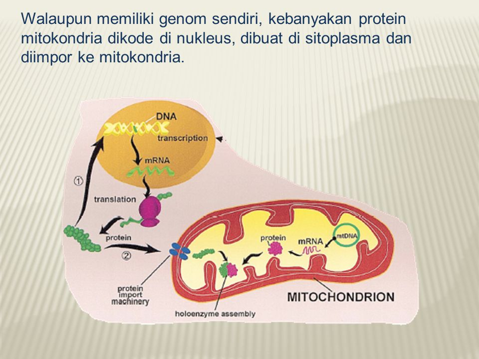 Walaupun memiliki genom sendiri, kebanyakan protein mitokondria dikode di nukleus, dibuat di sitoplasma dan diimpor ke mitokondria.