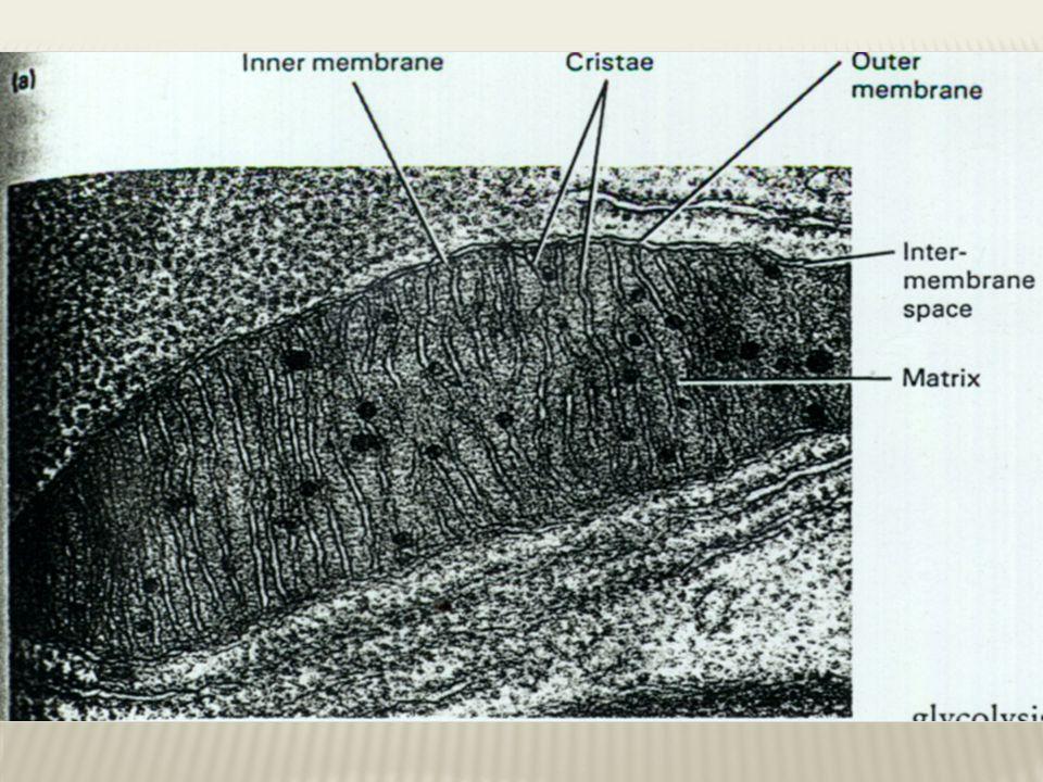  Fungsi  Respirasi seluler  Menghasilkan ATP  Dari pemecahan gula, lemak dan bahan- bahan lainnya  Dalam keberadaan oksigen  Memecah molekul yang lebih besar menjadi lebih kecil untuk menghasilkan energi = katabolisme  Menghasilkan energi dalam keberadaan oksigen = respirasi aerob