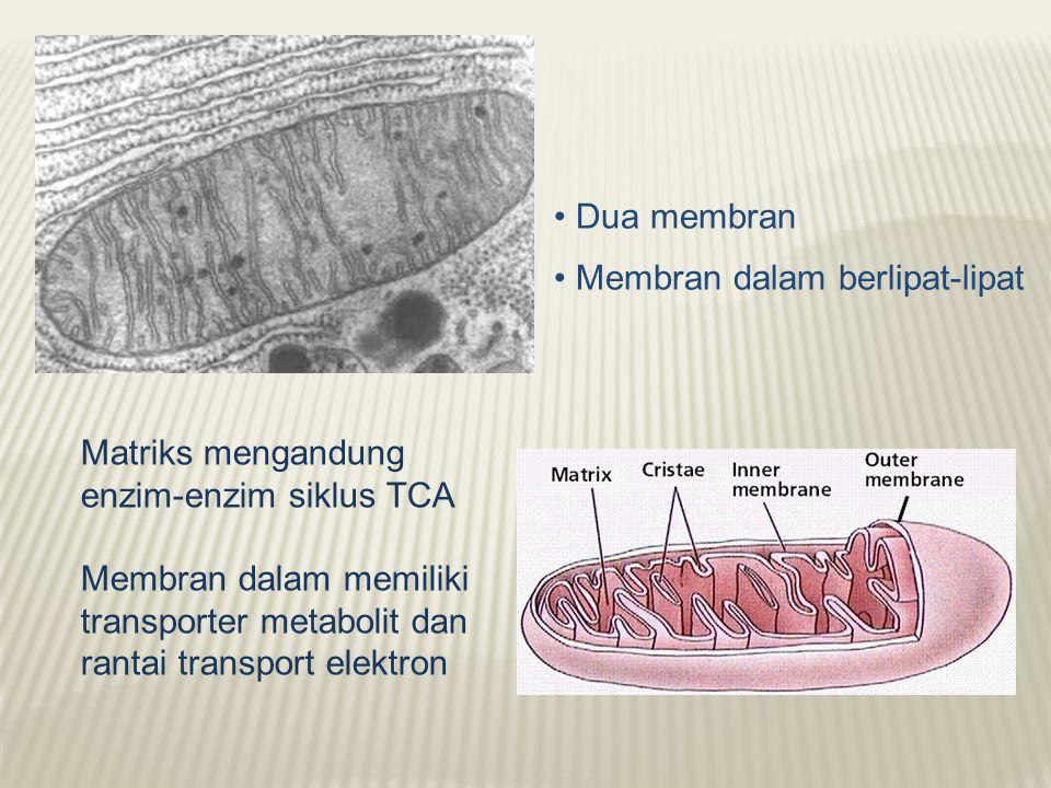 Dua membran Membran dalam berlipat-lipat Matriks mengandung enzim-enzim siklus TCA Membran dalam memiliki transporter metabolit dan rantai transport elektron