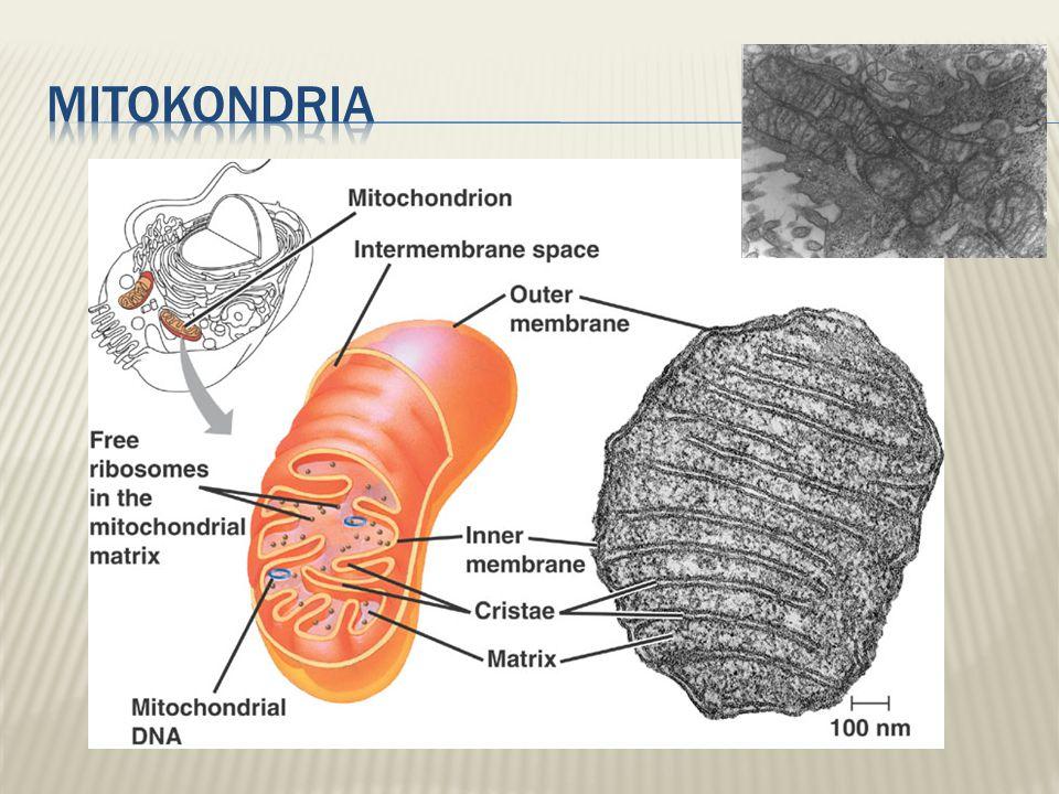 2005-2006  Hampir semua sel eukariot memiliki mitokondria  Terdapat 100 sampai 1000 mitokondria dalam individu  Jumlah mitokondria berhubungan dengan aktivitas metabolik aerob  Semakin banyak aktivitas, semakin banyak energi yang diperlukan, maka semakin banyak mitokondria = more mitokondria