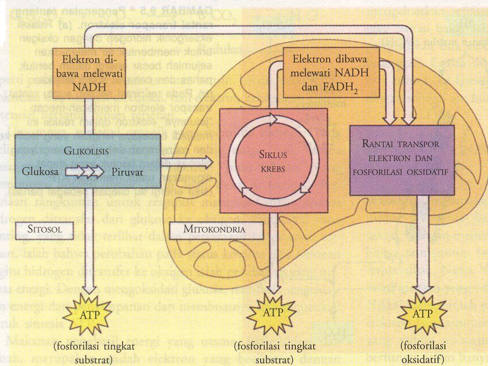 Glycolysis Piruvat yang dihasilkan dari glikolisis di- dekarboksilasi menjadi Acetyl CoA sebelum memasuki siklus TCA Dikatalisis oleh enzim -Pyruvate dehydrogenase complex (matriks mitokondrial) Pyruvate + CoA + NAD + A.