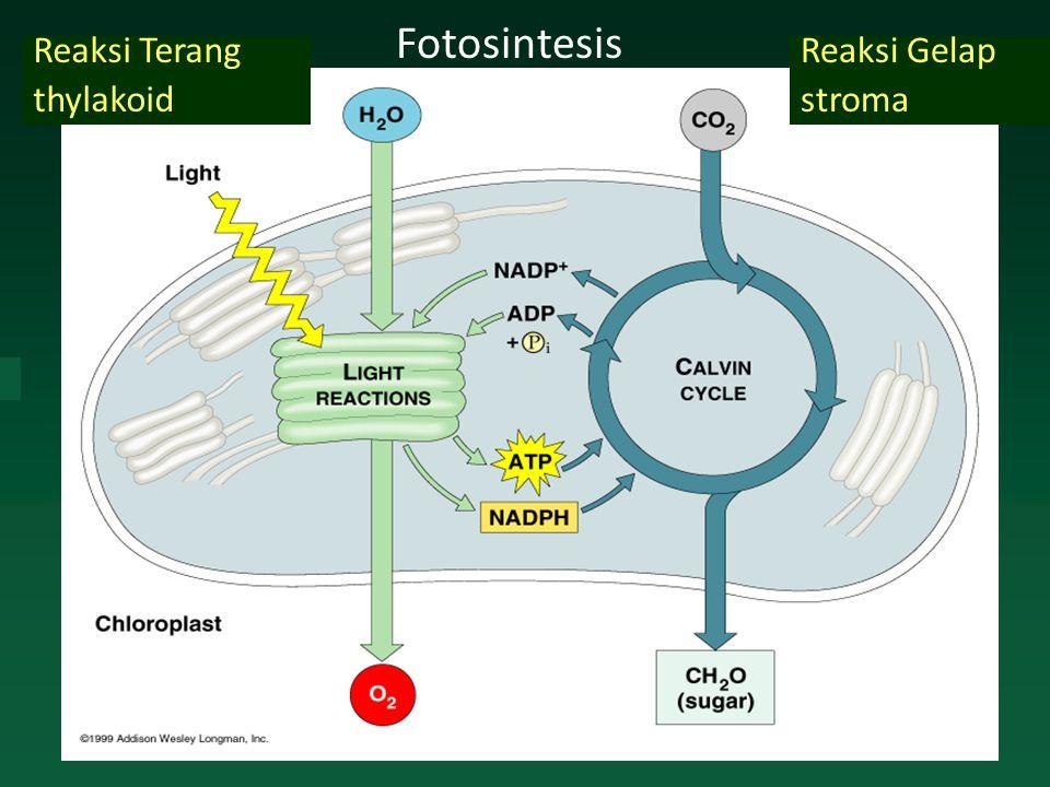 Reaksi Gelap stroma Reaksi Terang thylakoid Fotosintesis