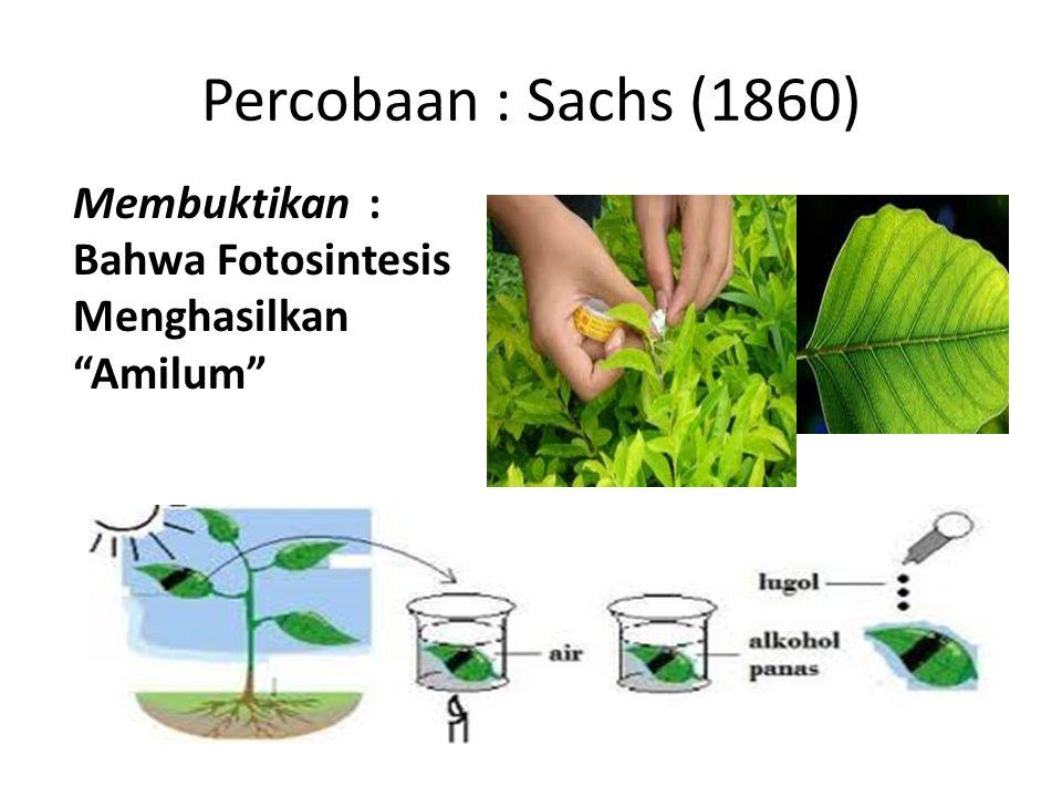 """Percobaan : Sachs (1860) Membuktikan : Bahwa Fotosintesis Menghasilkan """"Amilum"""""""