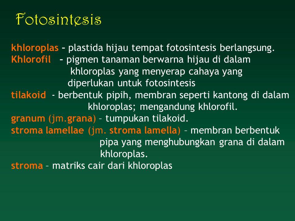 Fotosintesis khloroplas – plastida hijau tempat fotosintesis berlangsung. Khlorofil – pigmen tanaman berwarna hijau di dalam khloroplas yang menyerap