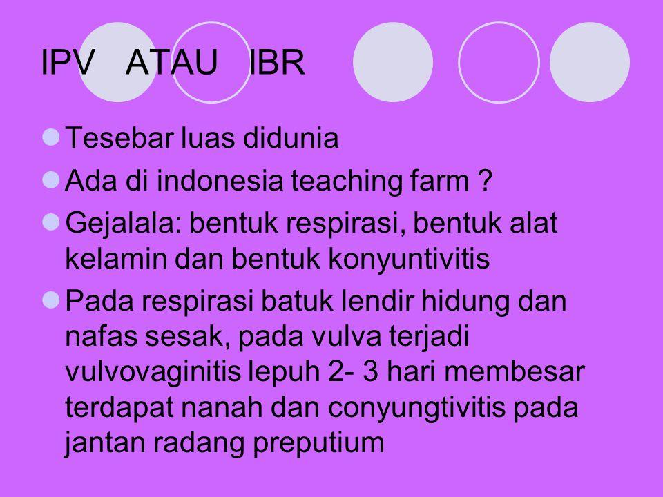 IPV ATAU IBR Tesebar luas didunia Ada di indonesia teaching farm ? Gejalala: bentuk respirasi, bentuk alat kelamin dan bentuk konyuntivitis Pada respi