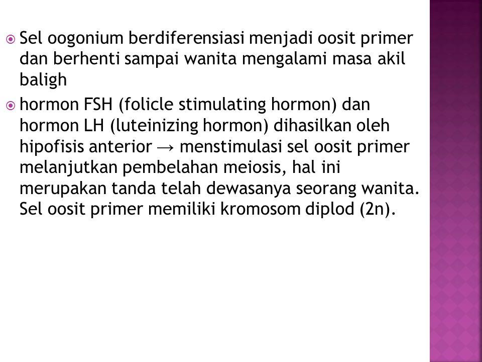  Sel oogonium berdiferensiasi menjadi oosit primer dan berhenti sampai wanita mengalami masa akil baligh  hormon FSH (folicle stimulating hormon) da