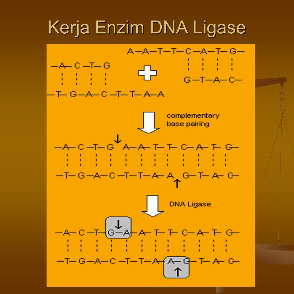Kerja Enzim DNA Ligase