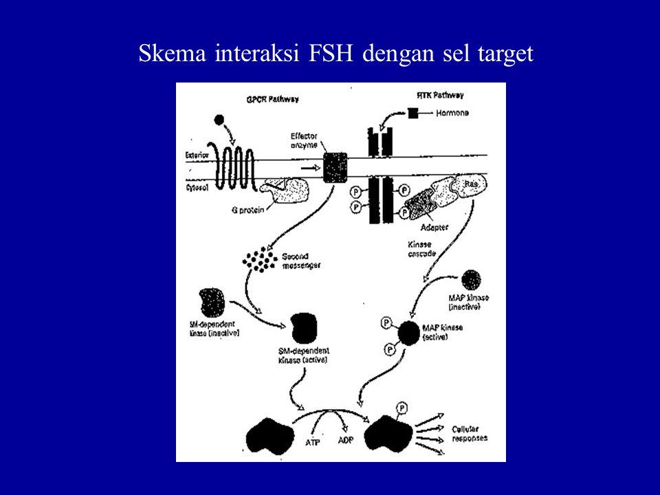 Skema interaksi FSH dengan sel target