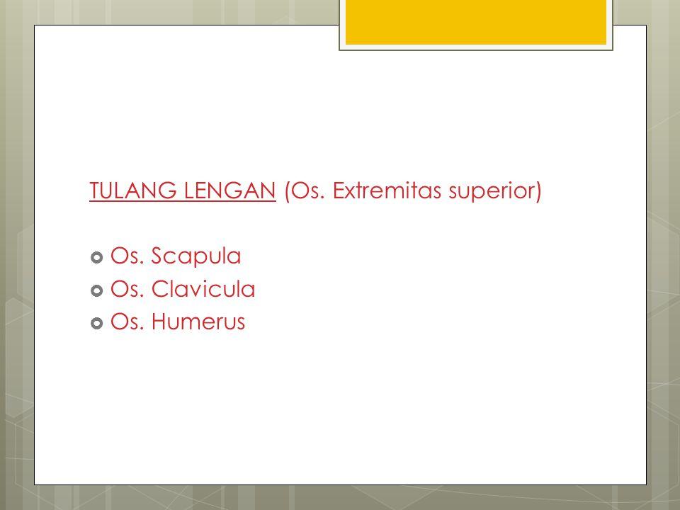 TULANG LENGAN (Os. Extremitas superior)  Os. Scapula  Os. Clavicula  Os. Humerus