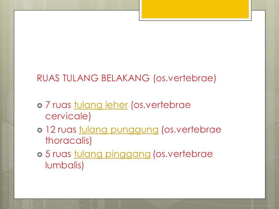 RUAS TULANG BELAKANG (os.vertebrae)  7 ruas tulang leher (os.vertebrae cervicale)tulang leher  12 ruas tulang punggung (os.vertebrae thoracalis)tula