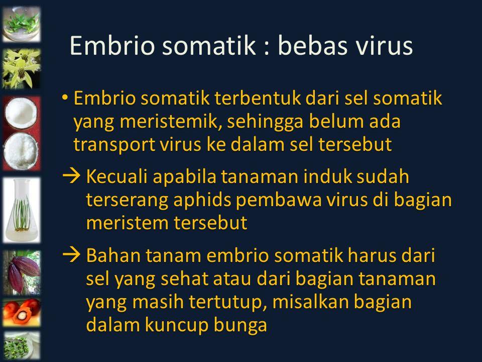 Embrio somatik : bebas virus Embrio somatik terbentuk dari sel somatik yang meristemik, sehingga belum ada transport virus ke dalam sel tersebut  Kec