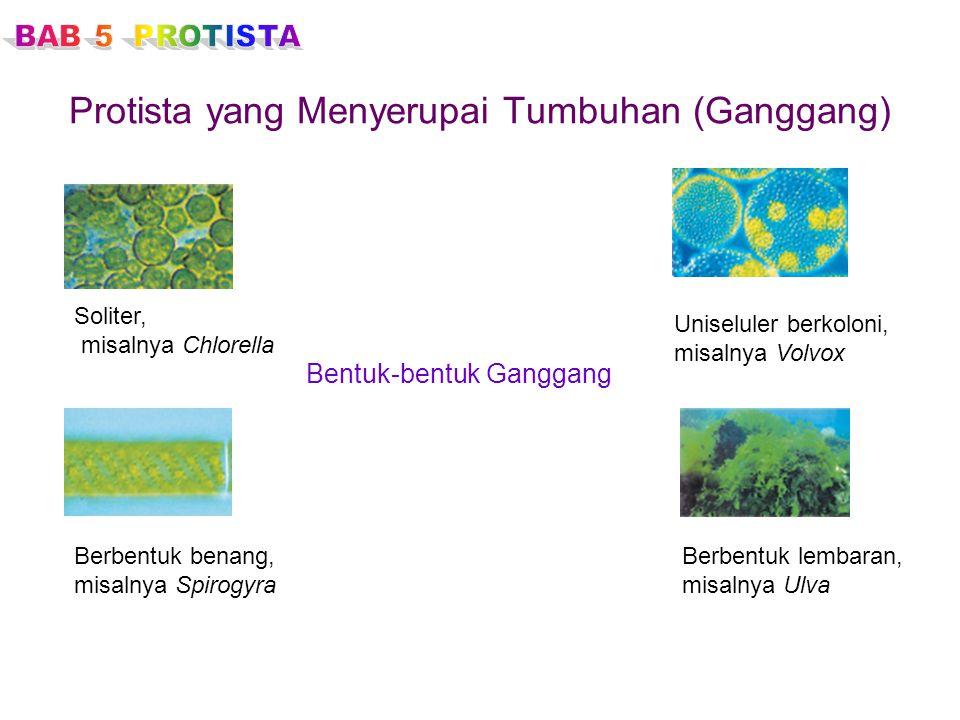 Protista yang Menyerupai Tumbuhan (Ganggang) Bentuk-bentuk Ganggang Soliter, misalnya Chlorella Uniseluler berkoloni, misalnya Volvox Berbentuk benang