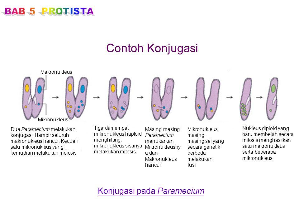 Contoh Konjugasi Konjugasi pada Paramecium Makronukleus Mikronukleus Dua Paramecium melakukan konjugasi. Hampir seluruh makronukleus hancur. Kecuali s