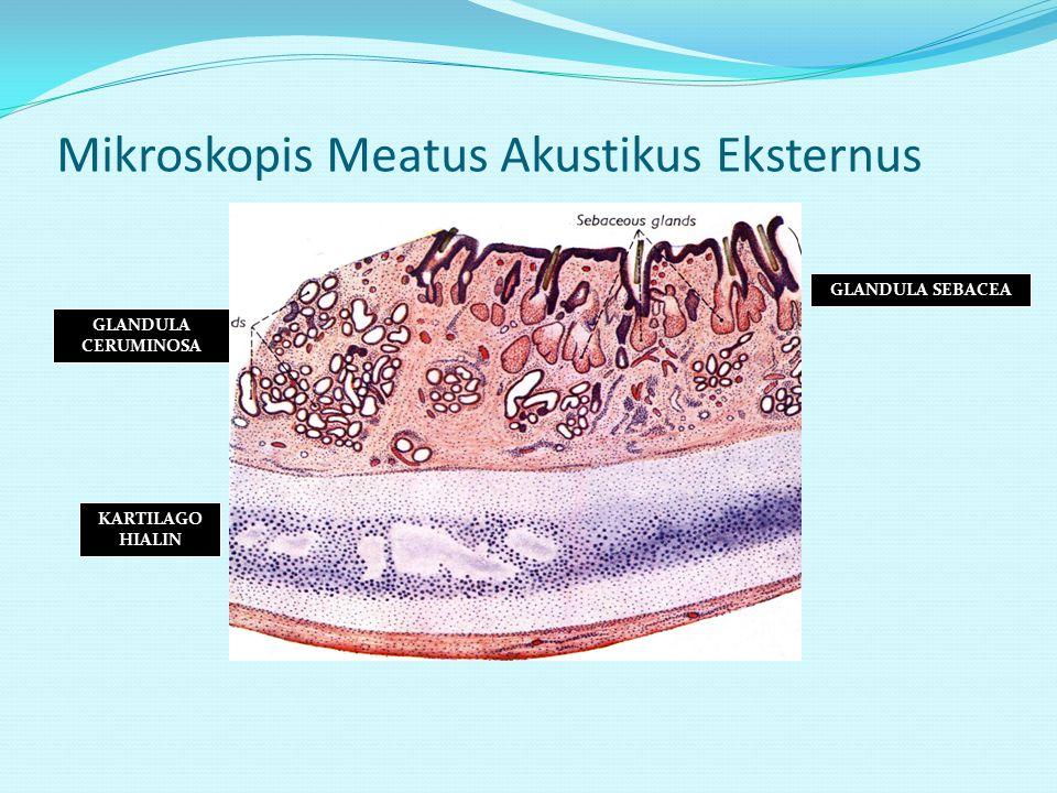 Mikroskopis Meatus Akustikus Eksternus GLANDULA CERUMINOSA GLANDULA SEBACEA KARTILAGO HIALIN