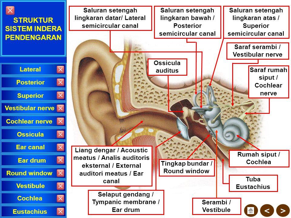 Proses mendengar terjadi bila terdapat rangsang pada auditorius kortek serebralis (lotus temporalis) di otak besar. Pengiriman rangsang dari sumber su