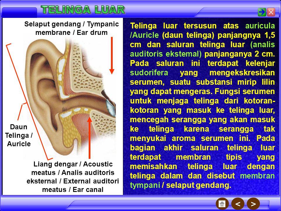 Sistem pendengaran manusia terbagi menjadi telinga luar, telinga tengah, dan telinga dalam. Telinga tengah Telinga luar Telinga dalam ><