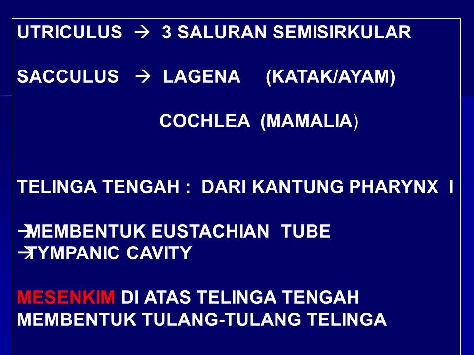 UTRICULUS  3 SALURAN SEMISIRKULAR SACCULUS  LAGENA (KATAK/AYAM) COCHLEA (MAMALIA) TELINGA TENGAH : DARI KANTUNG PHARYNX I  MEMBENTUK EUSTACHIAN TUB