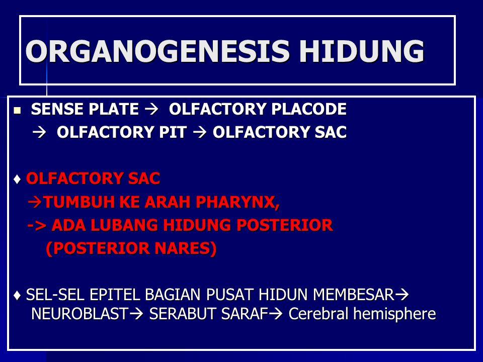 ORGANOGENESIS HIDUNG SENSE PLATE  OLFACTORY PLACODE SENSE PLATE  OLFACTORY PLACODE  OLFACTORY PIT  OLFACTORY SAC  OLFACTORY PIT  OLFACTORY SAC ♦
