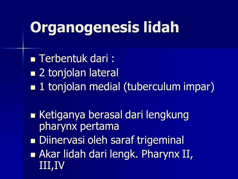 Organogenesis lidah Terbentuk dari : Terbentuk dari : 2 tonjolan lateral 2 tonjolan lateral 1 tonjolan medial (tuberculum impar) 1 tonjolan medial (tu