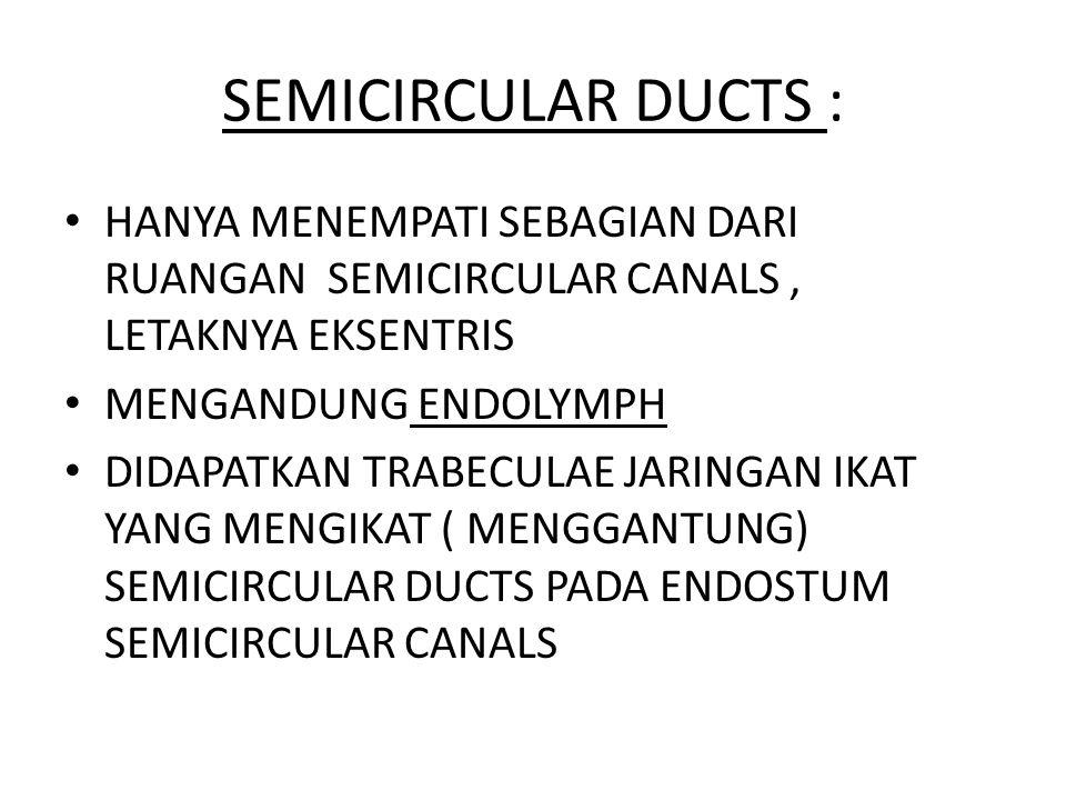 SEMICIRCULAR DUCTS : HANYA MENEMPATI SEBAGIAN DARI RUANGAN SEMICIRCULAR CANALS, LETAKNYA EKSENTRIS MENGANDUNG ENDOLYMPH DIDAPATKAN TRABECULAE JARINGAN