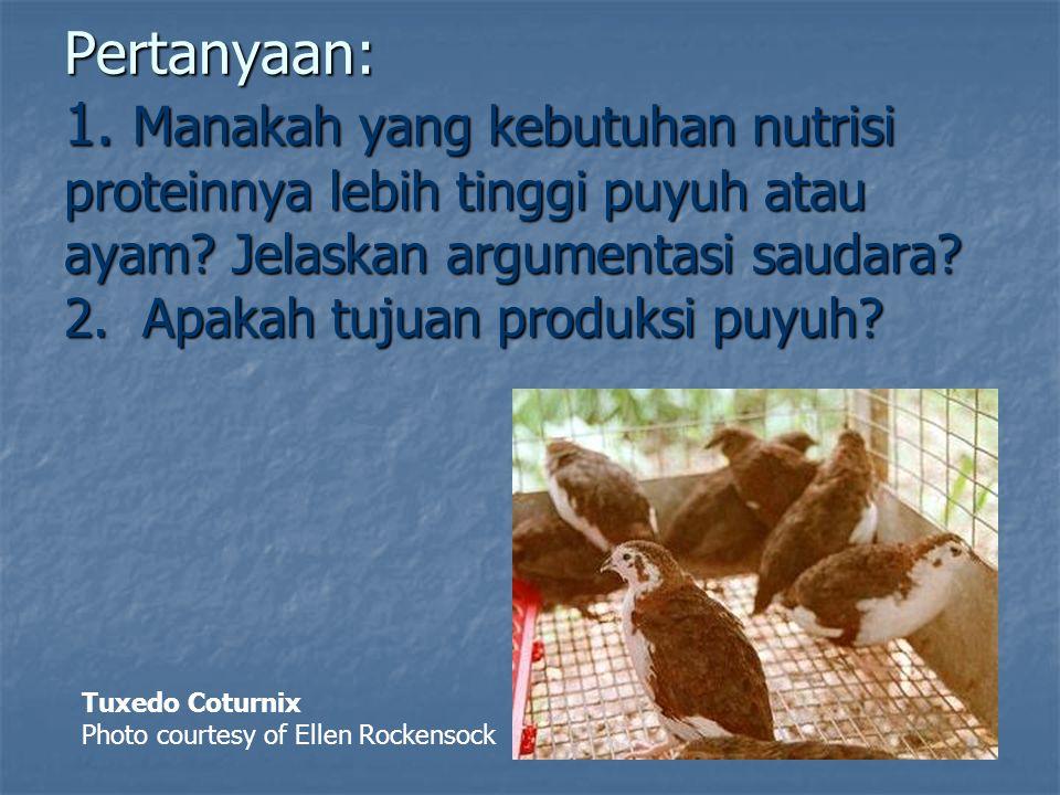 kebutuhan energi untuk burung puyuh : ME= -1,686+(0,014% x EE x BB0,67) – 0,784 U + 2,007 PBB + 1,94 BB0.67 dimana: ME = kebutuhan energi dalam kkal/ekor/hari EE = efisiensi energi yaitu ME/GE yang dikonsumsi BB = berat badan dalam gram U = umur dalam hari PBB= perubahan berat badan dalam gram A&M Giant White Coturnix Photo courtesy of Ellen Rockensock