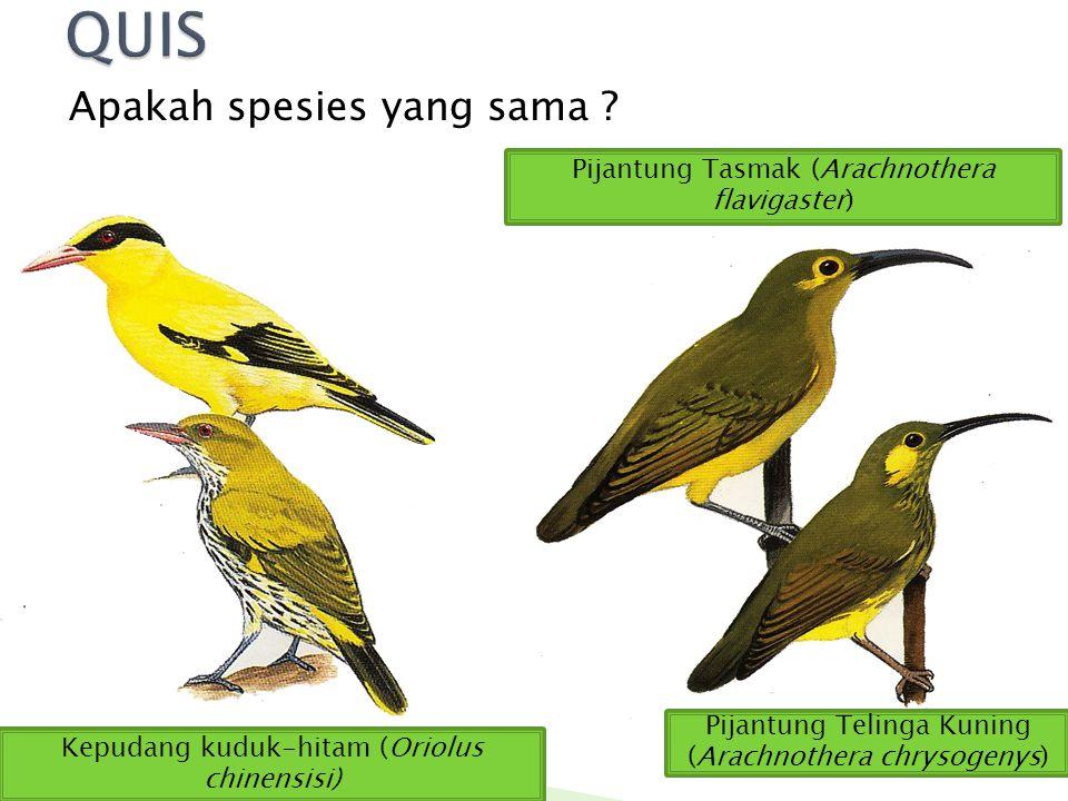 Apakah spesies yang sama ? Kepudang kuduk-hitam (Oriolus chinensisi) Pijantung Tasmak (Arachnothera flavigaster) Pijantung Telinga Kuning (Arachnother