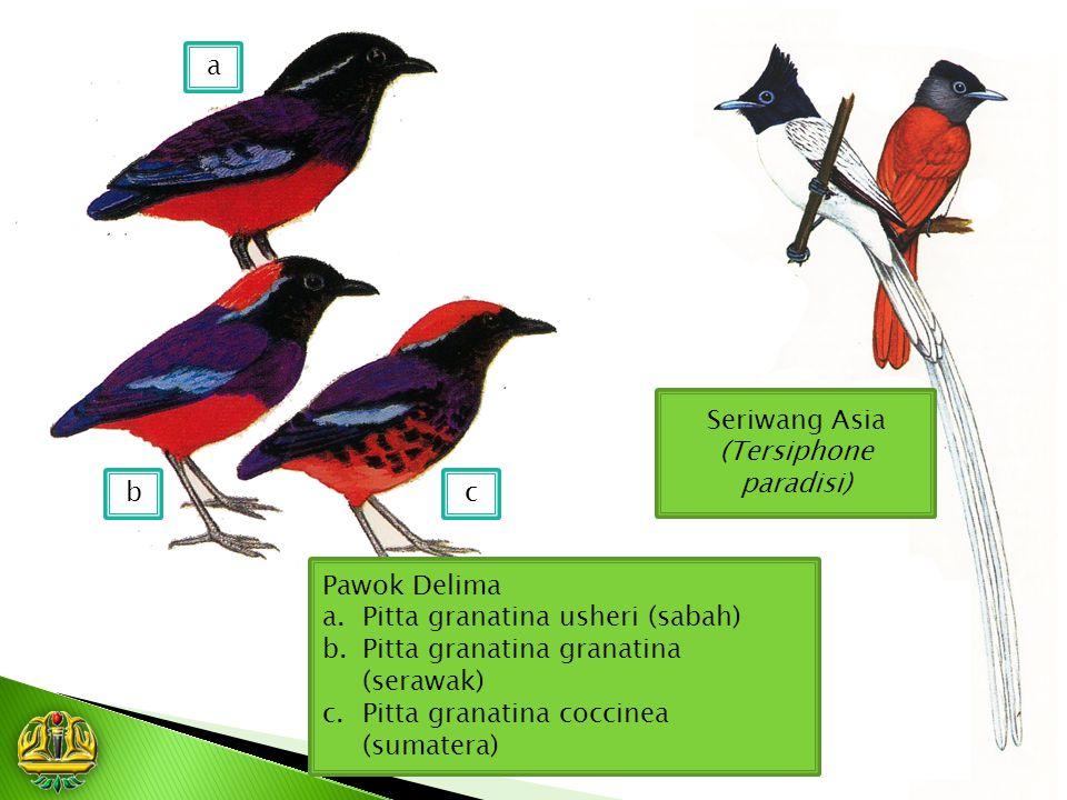 Seriwang Asia (Tersiphone paradisi) Pawok Delima a.Pitta granatina usheri (sabah) b.Pitta granatina granatina (serawak) c.Pitta granatina coccinea (su