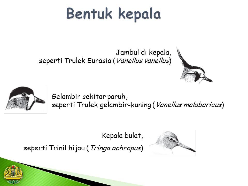 Jambul di kepala, seperti Trulek Eurasia (Vanellus vanellus) Gelambir sekitar paruh, seperti Trulek gelambir-kuning (Vanellus malabaricus) Kepala bula