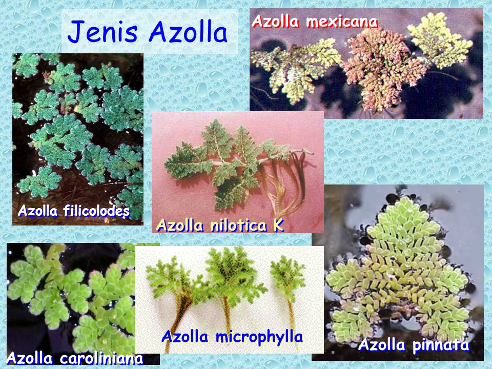 Jenis Azolla Azolla filicolodes Azolla mexicana Azolla pinnata Azolla caroliniana Azolla microphylla Azolla nilotica K