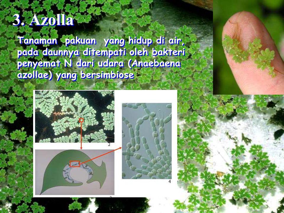 3. Azolla Tanaman pakuan yang hidup di air, pada daunnya ditempati oleh bakteri penyemat N dari udara (Anaebaena azollae) yang bersimbiose