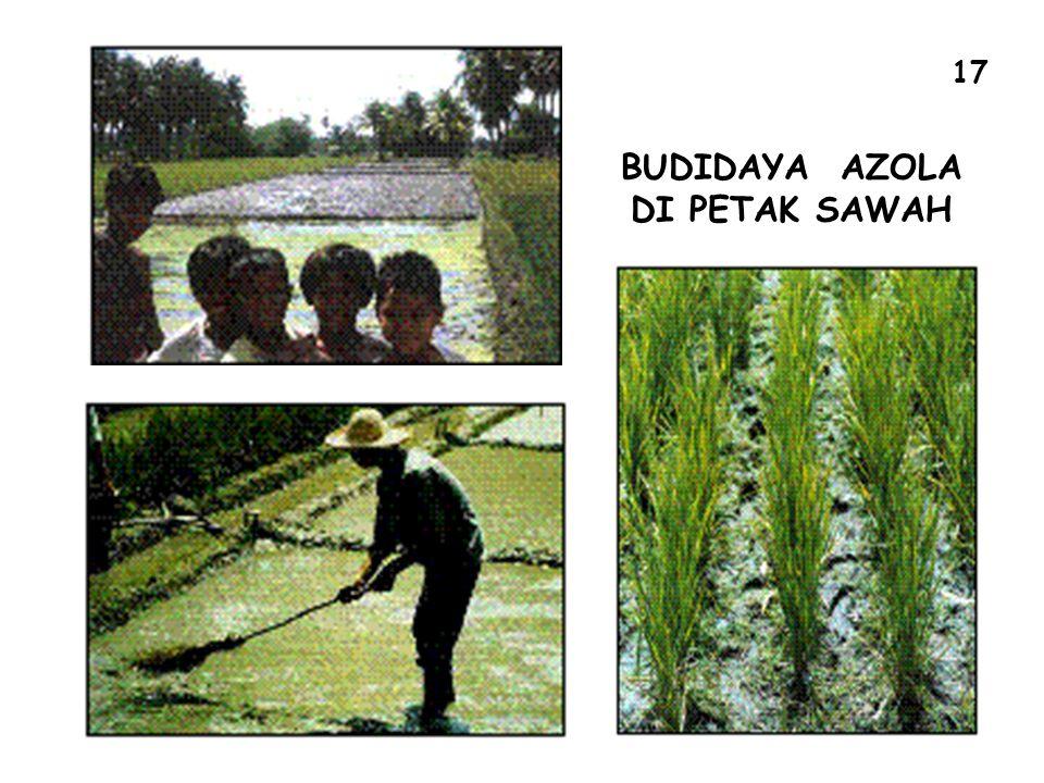 BUDIDAYA AZOLA DI PETAK SAWAH 17