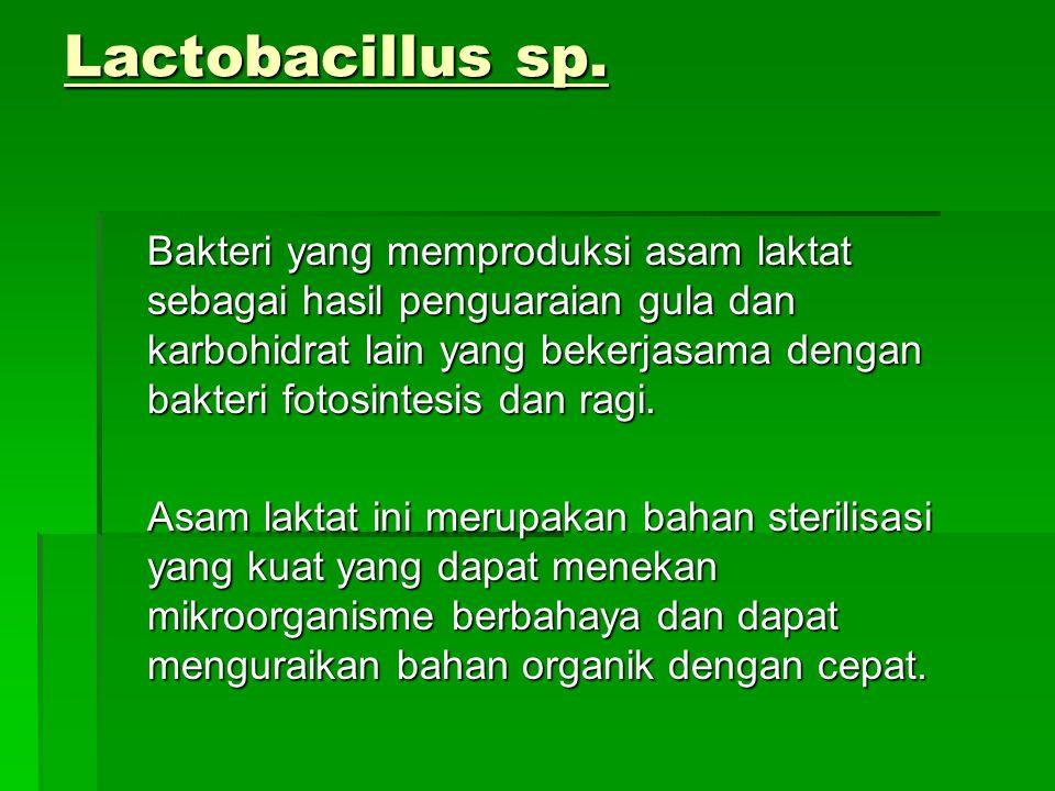 Lactobacillus sp. Bakteri yang memproduksi asam laktat sebagai hasil penguaraian gula dan karbohidrat lain yang bekerjasama dengan bakteri fotosintesi