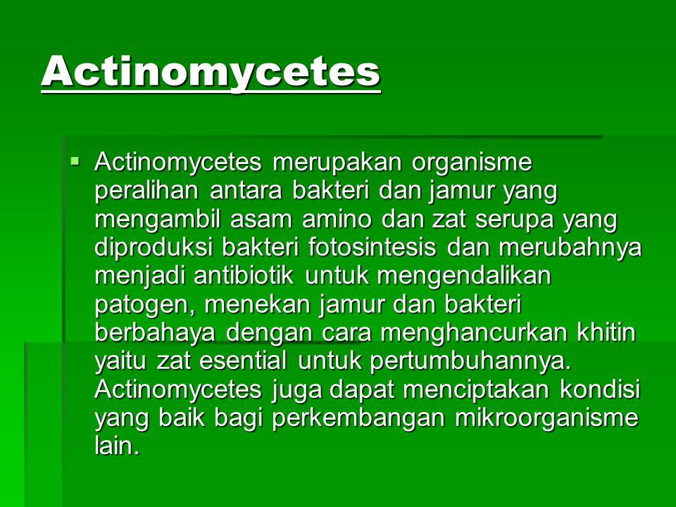 Actinomycetes  Actinomycetes merupakan organisme peralihan antara bakteri dan jamur yang mengambil asam amino dan zat serupa yang diproduksi bakteri