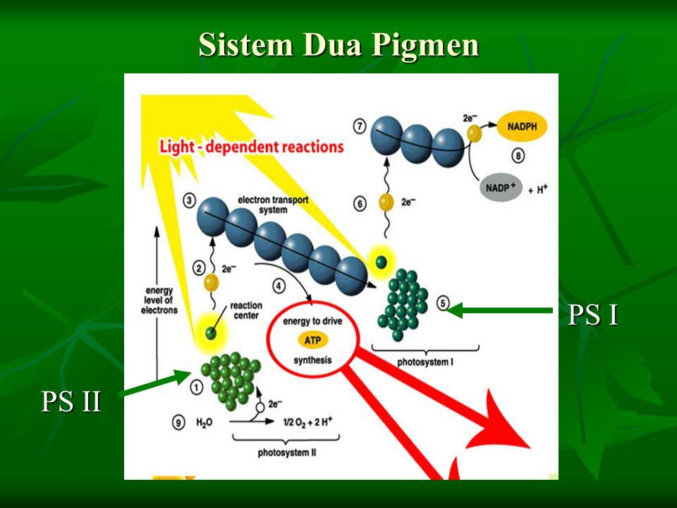 Sistem Dua Pigmen PS I PS I PS II