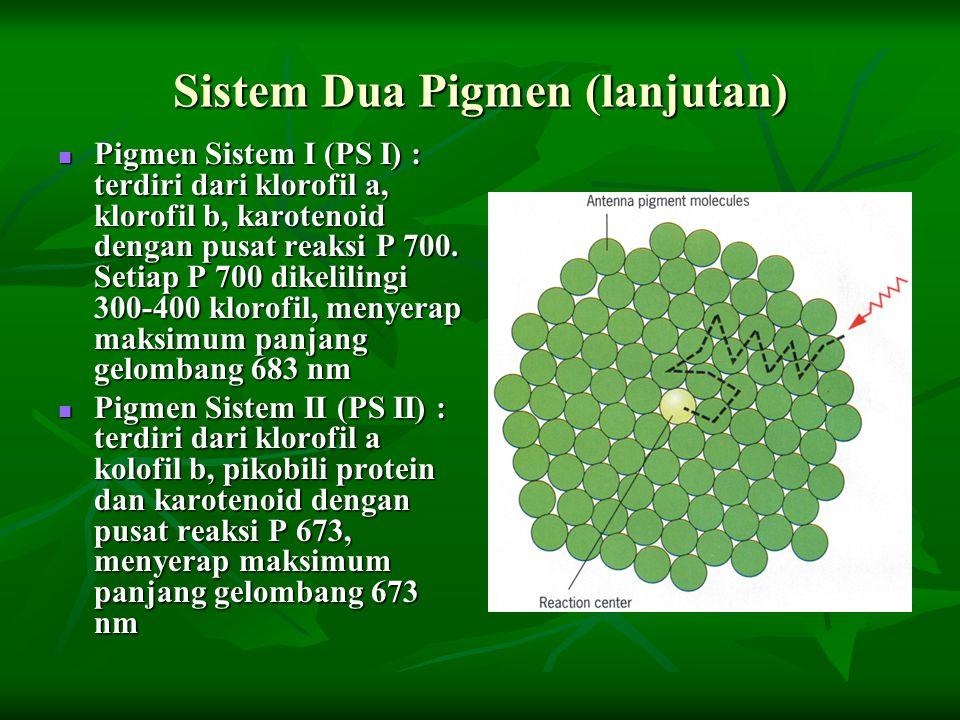 Sistem Dua Pigmen (lanjutan) Pigmen Sistem I (PS I) : terdiri dari klorofil a, klorofil b, karotenoid dengan pusat reaksi P 700. Setiap P 700 dikelili