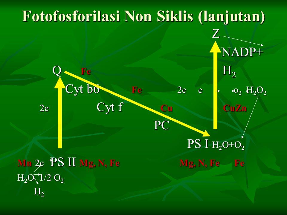 Fotofosforilasi Non Siklis (lanjutan) Z NADP+ NADP+ Q Fe H 2 Q Fe H 2 Cyt b6 Fe 2e e o 2 H 2 O 2 Cyt b6 Fe 2e e o 2 H 2 O 2 2e Cyt f Cu CuZn 2e Cyt f