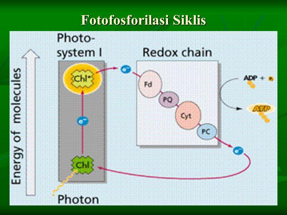 Fotofosforilasi Siklis