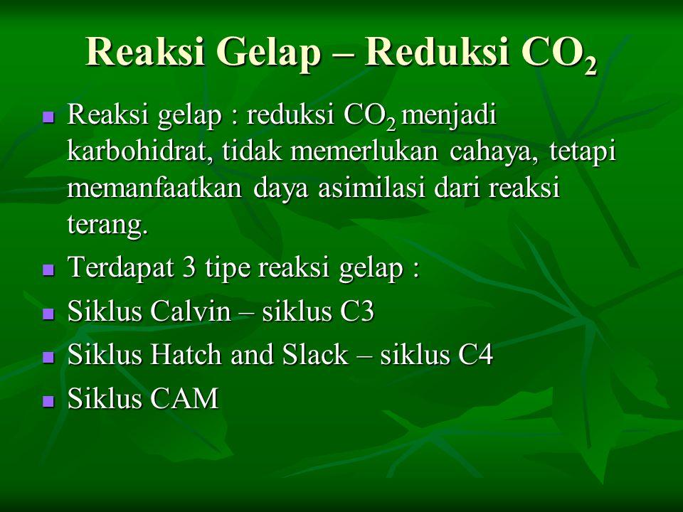 Reaksi Gelap – Reduksi CO 2 Reaksi gelap : reduksi CO 2 menjadi karbohidrat, tidak memerlukan cahaya, tetapi memanfaatkan daya asimilasi dari reaksi t