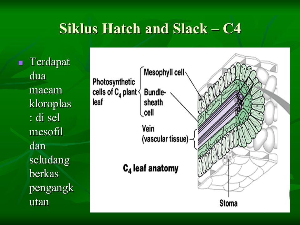 Siklus Hatch and Slack – C4 Terdapat dua macam kloroplas : di sel mesofil dan seludang berkas pengangk utan Terdapat dua macam kloroplas : di sel meso